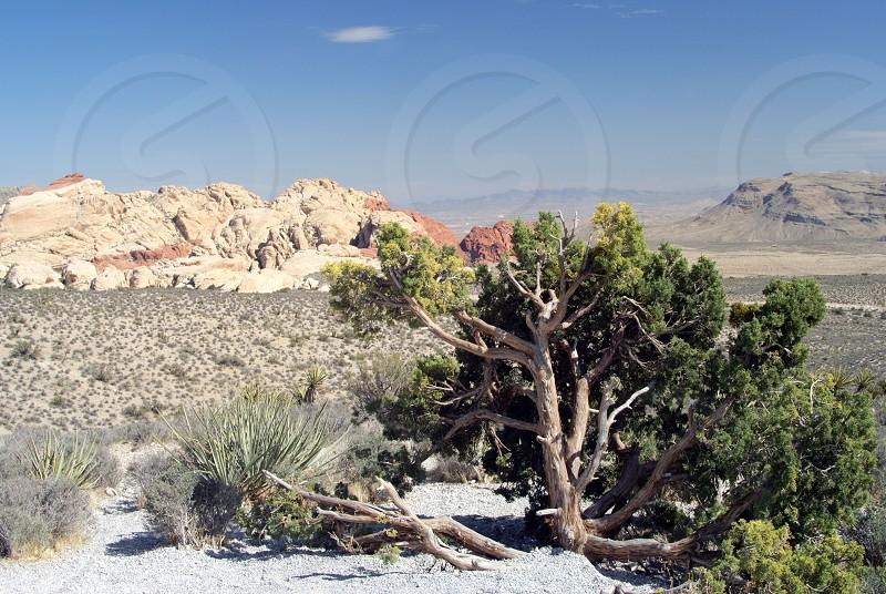 Green desert tree and desert rocks in the back photo