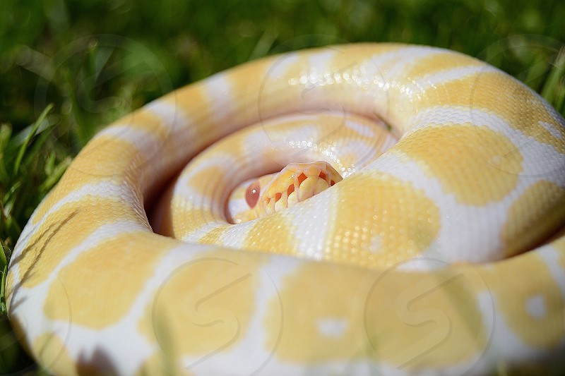 Albino Python Regius. photo