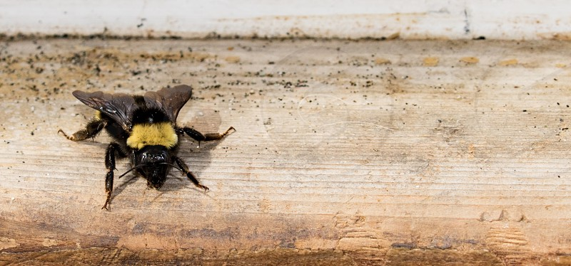 Bumblebee resting in the sun photo