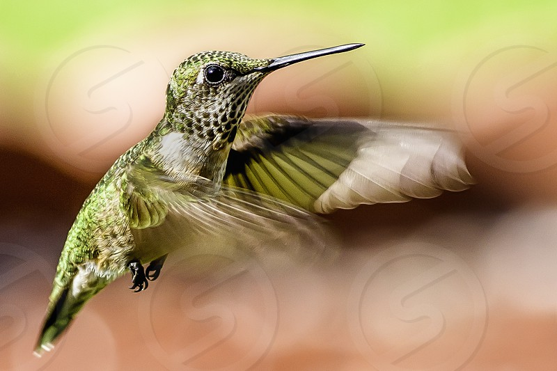 Female Ruby Throated Hummingbird in flight photo