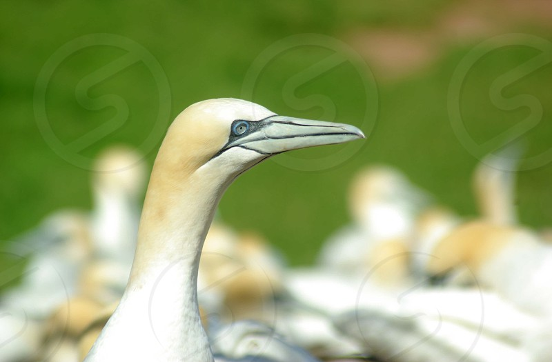Colony of gannets photo