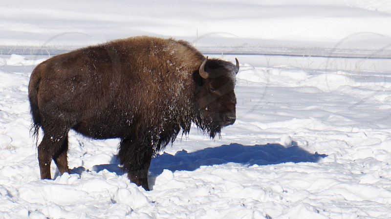 Bison in Montana photo