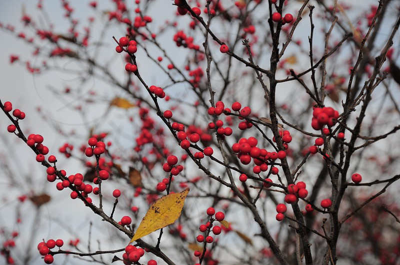 red berries on tree photo