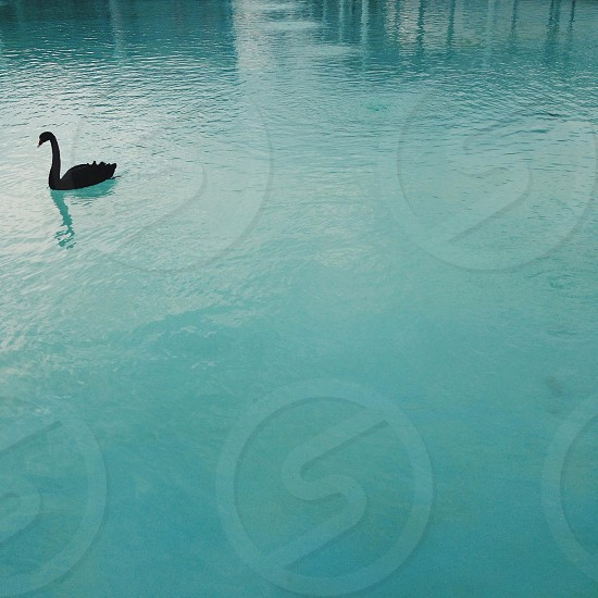 black swan swimming in water photo