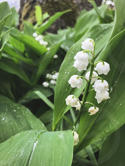 Rain spring flowers rainy day rain drops water drops green leaves lilies of the valley  photo