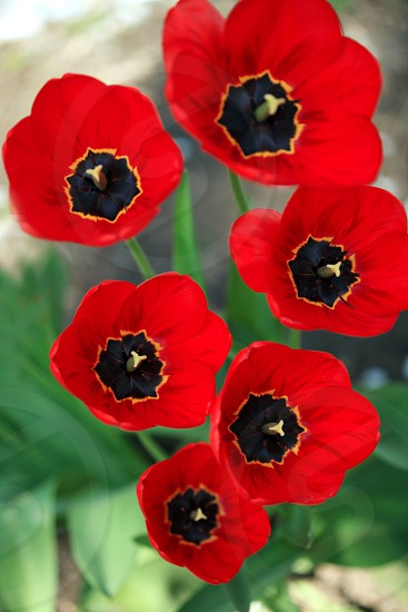 red poppies flowers photo