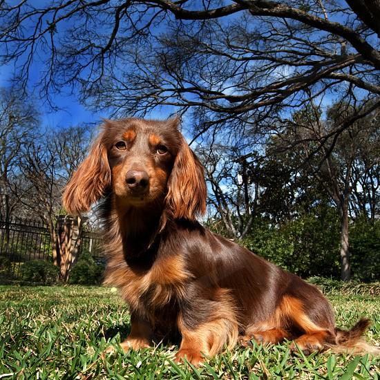 dog pet animal purebred canine photo