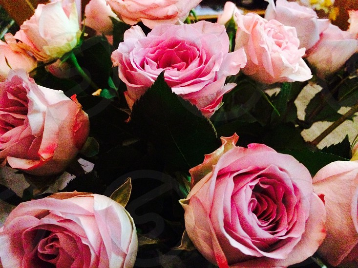 Roses rosé  photo
