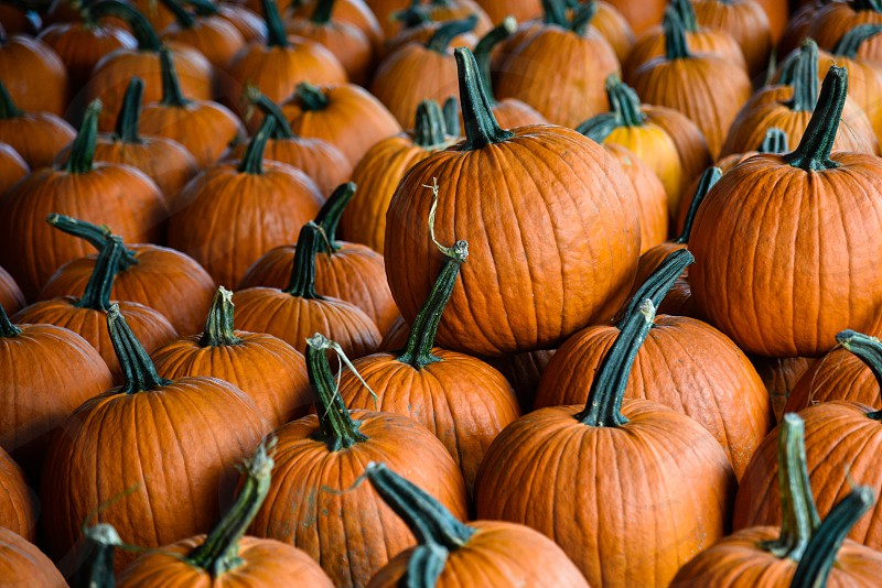 lines of orange pumpkins photo