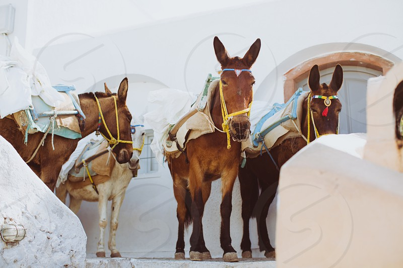 Oia Santorini Greece Europe Island ocean sea donkey animal summer blue white architecture portrait destination wedding travel photo