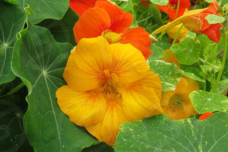 Colorful nasturtiums photo