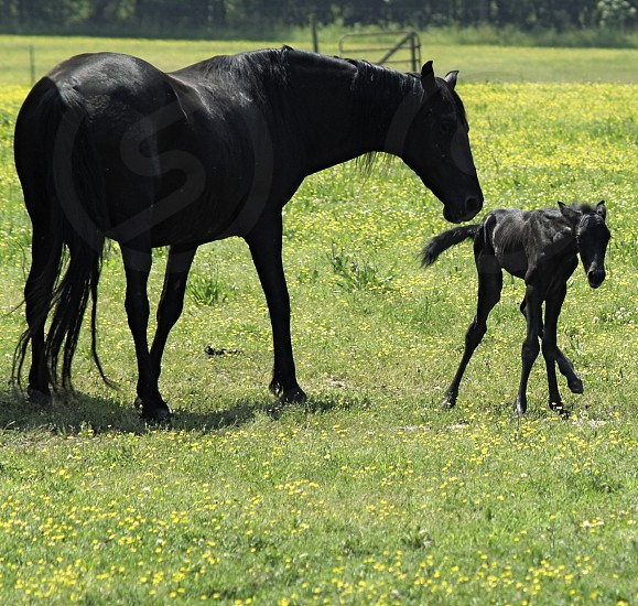 Newborn horse learning to walk photo