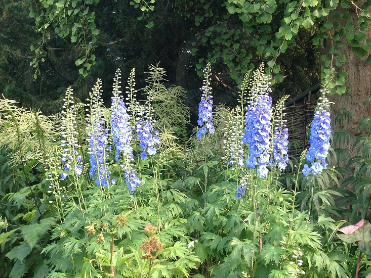 Blue delphinium flowers photo