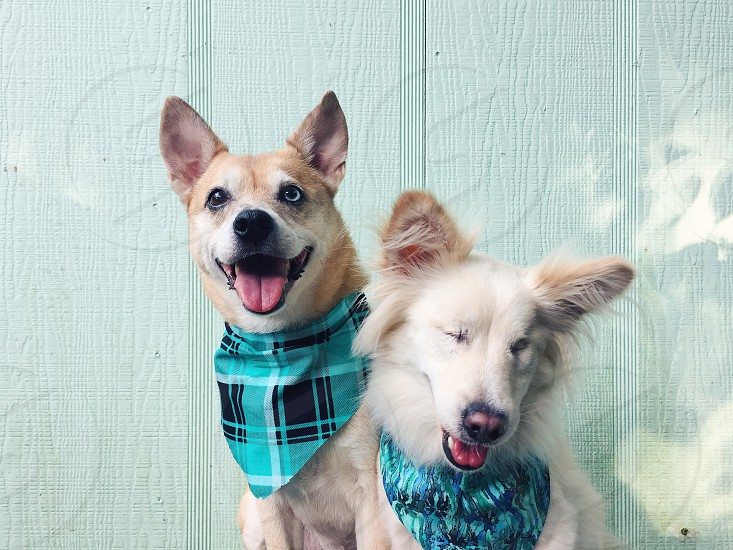 2 dogs wearing bandanas sitting against the wall photo