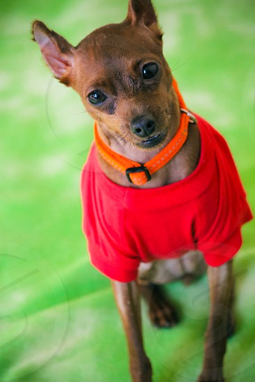 Miniature Chihuahua wearing red shirt looking at camera with head titled against green background photo