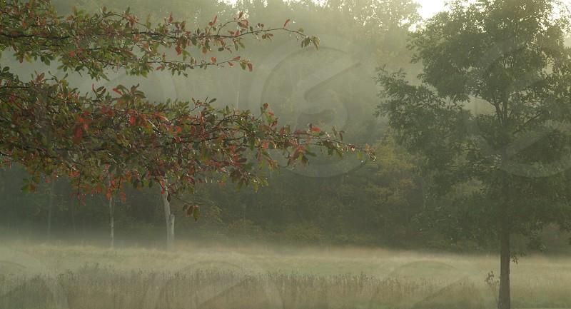 Trees in morning mist. Fog.  photo