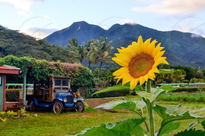 Hawaii sun flower field  photo