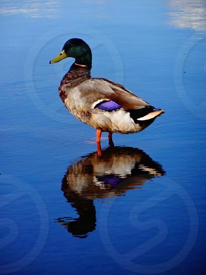 Duck reflection lake pattern photo