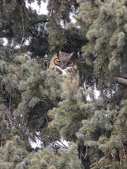 Horned owl 3 photo