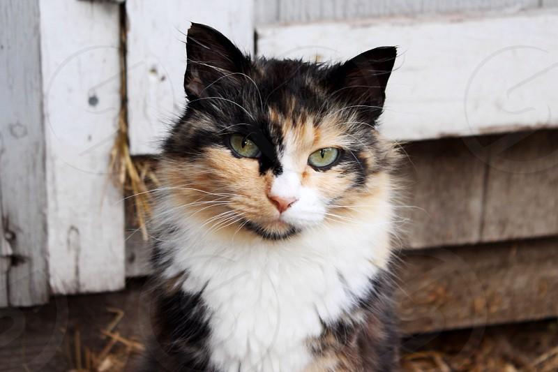 Beautiful cat on the farm  photo