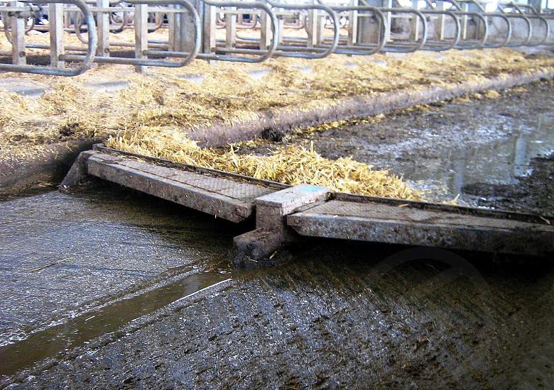 Cow Farm - Clearing slurry photo