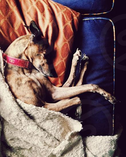 Brindle greyhound dog sleeping on blue velvet and orange couch.  photo