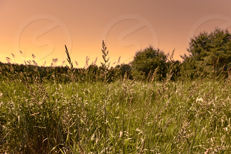 sunset evening prairie grass twilight plant plants field wilderness park natural nature tree trees landscape vegetation shallow windy yellow orange green sky growth tranquil serene peaceful summer june wisconsin photo