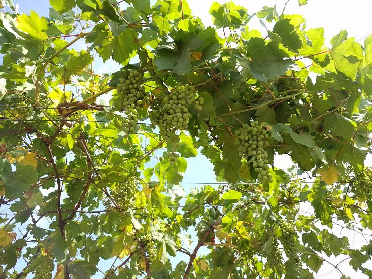Grapes on a farm photo