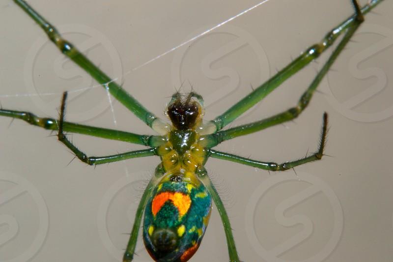 green garden spider photo