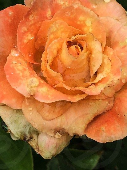 orange rose just bloomed with droplets of water and green leaves photo