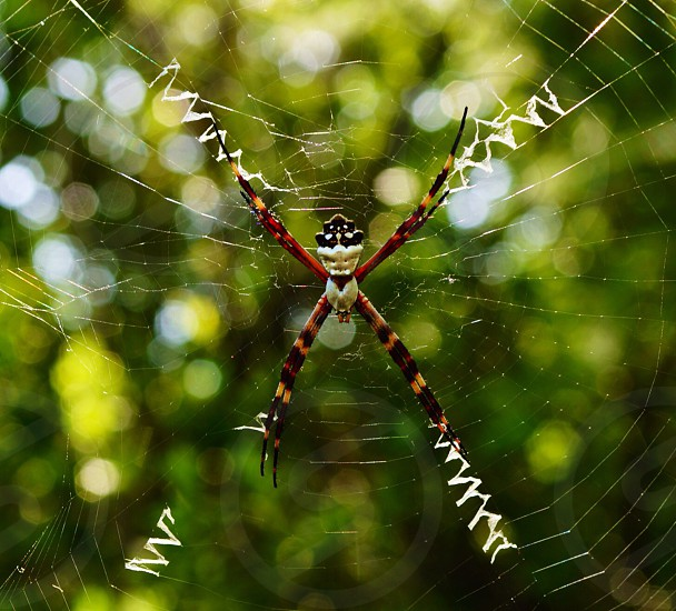 white and black banded argiope spider on web photo