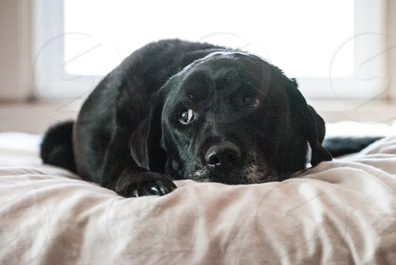 black labrador retriever photo