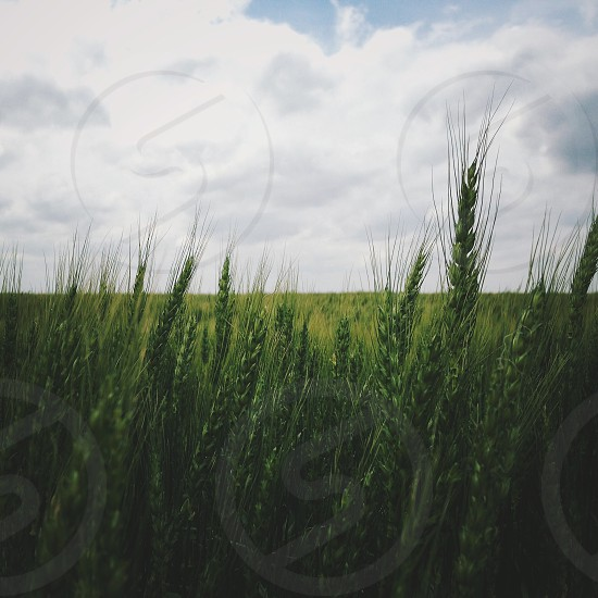 Wheat field kansas sky green blue  photo