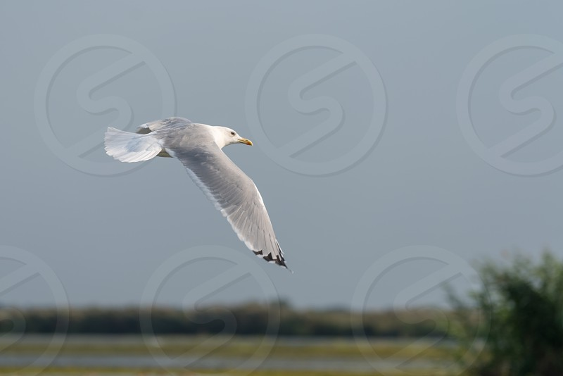 Seagull flying over the Danube Delta photo