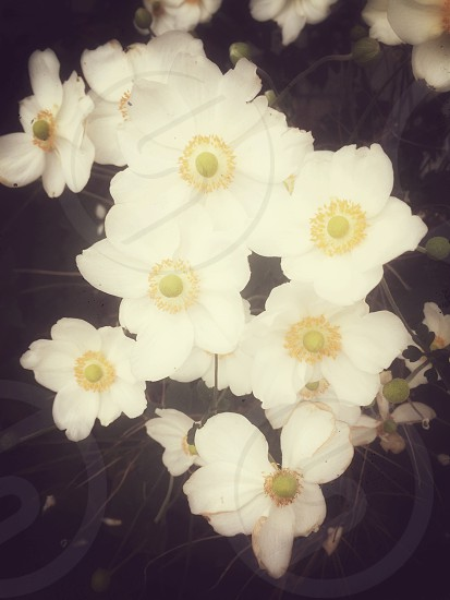 White and yellow anenome flowers (or Japanese windflowers) in soft focus photo