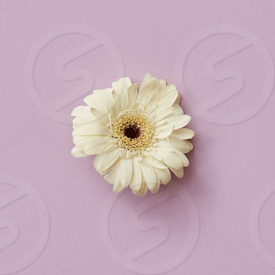 White gerbera flower on a pink background. Blooming concept. greeting card by March 8 or mother's day. Flat lay. photo