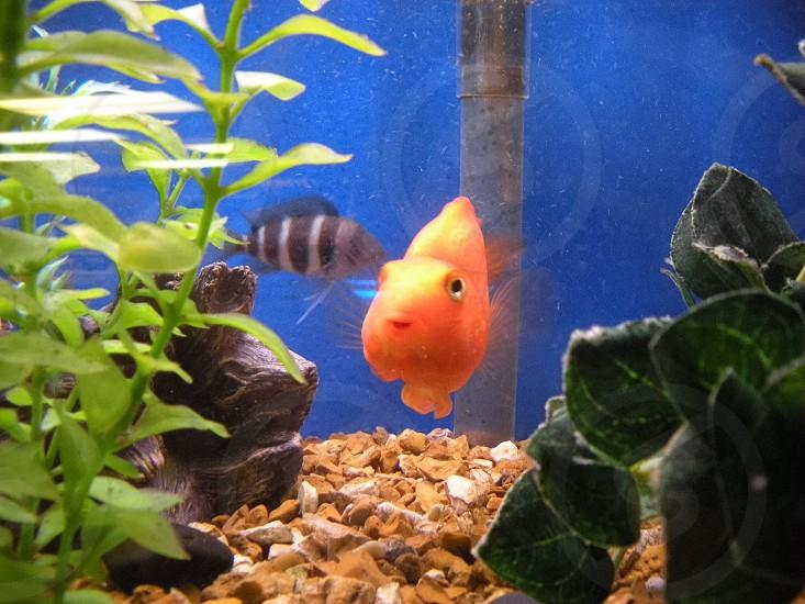 Freshwater aquarium patriot fish convict cichlid  photo