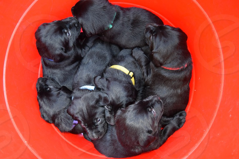A red bucketful of labrador retriever puppies wearing colorful collars. This is one way two people can carry seven puppies. photo