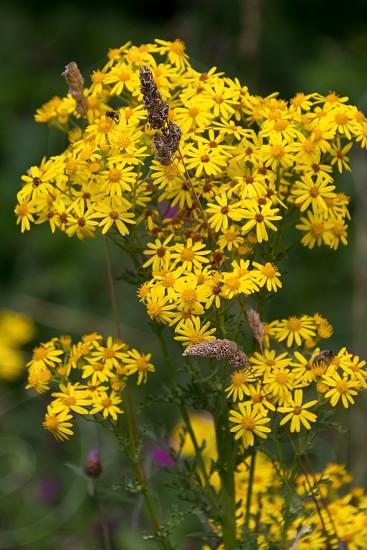 Common Ragwort (Jacobaea vulgaris) flowering near Ardingly Reservoir in Sussex photo