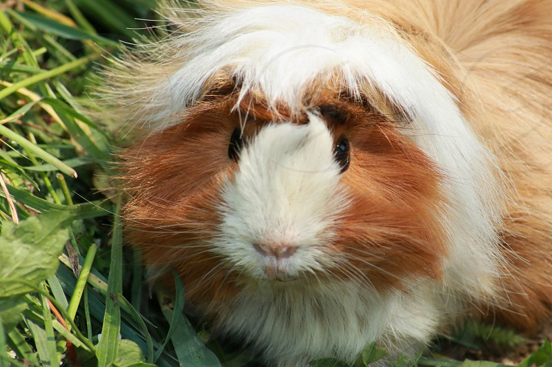 guinea pig on green grass photo