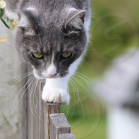black and white cat walking on fence photo