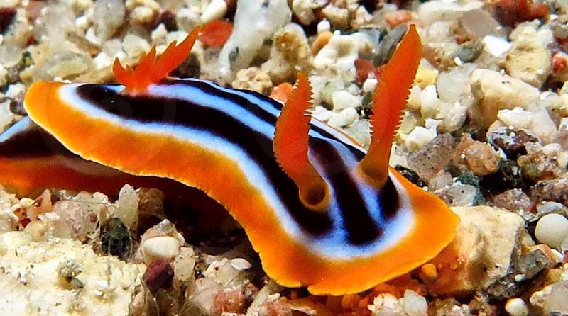 Noody branch snail in Red sea Eilat Israel.                     photo