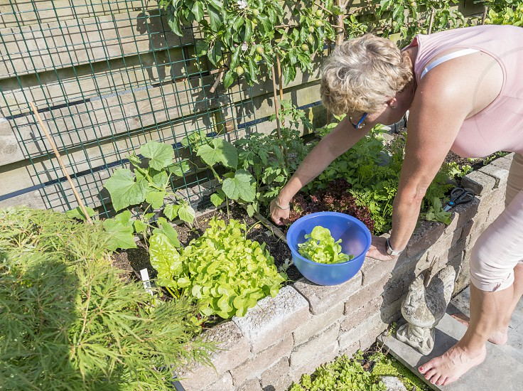 femail hand picking food from the garden as lettuce and chard for the evening salad  photo