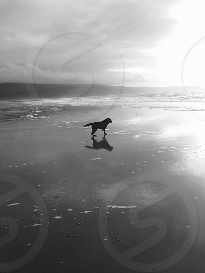 My Black Labrador; Ollie at Cardinal Bay Wales. photo