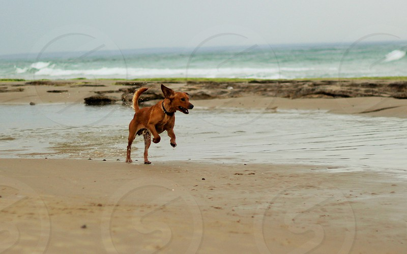 brown dog running near the water photo