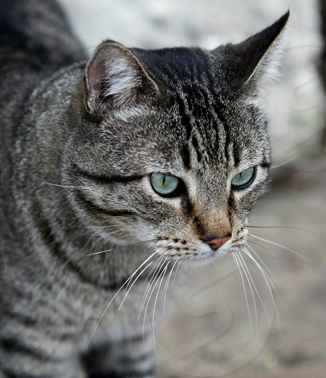 silver tabby short-haired cat with blue eyes photo