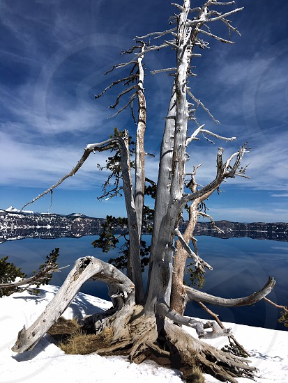 Dead tree at crater lake photo