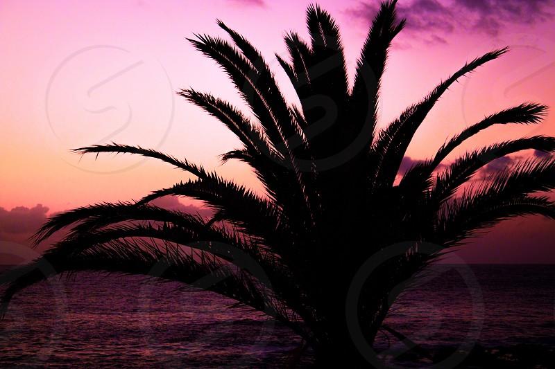 majesty palm tree silhouette photo