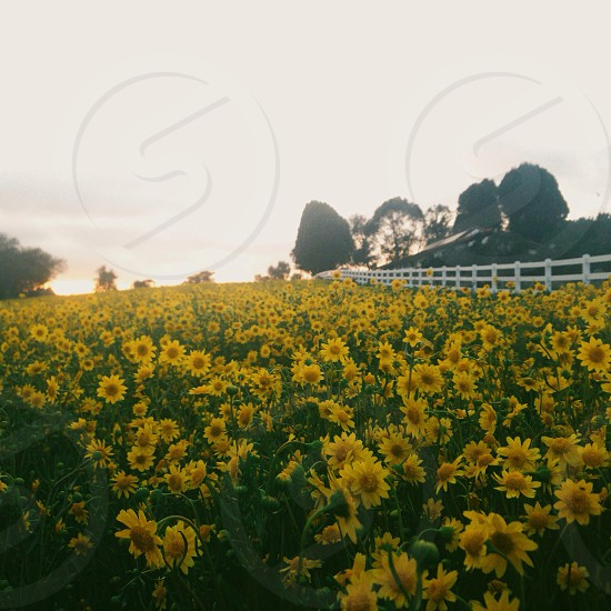 yellow and green flower bed photo