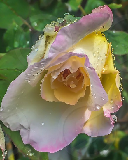 close up photo of yellow rose surrounded by green leaf plants with water droplets photo